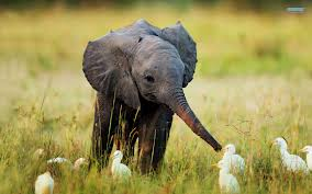 animals baby elephant