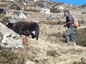 Yak on a leash