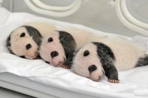 happiness, panda