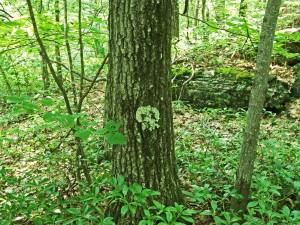 skull lichen 1
