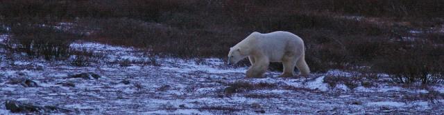 fix polar bear 1 z