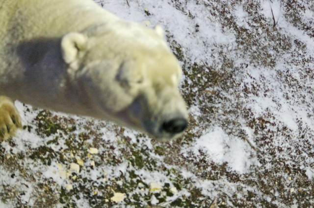 fix polar bear eyes closed
