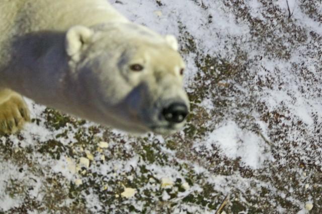 fix polar bear face