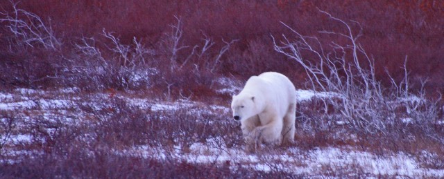 fix polar bear hotel walking z