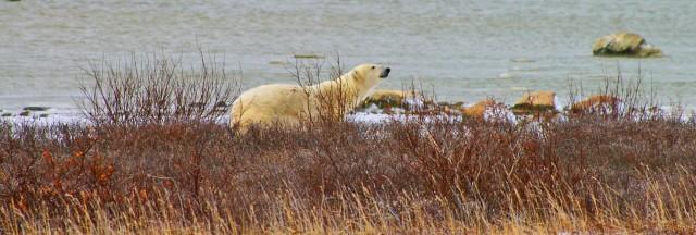 fix polar bear peekaboo 3 z