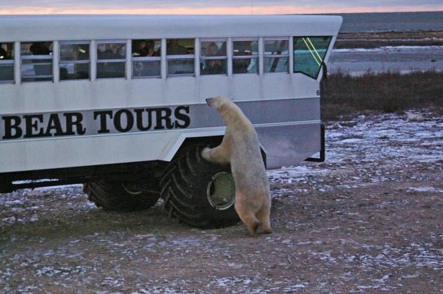 fix polar bear rover 1