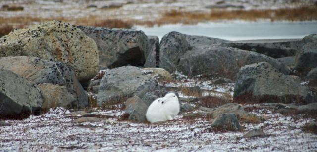 fix arctic hare 3 b