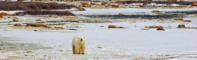 fix polar bear girl z