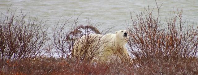fix polar bear peekaboo 2 z