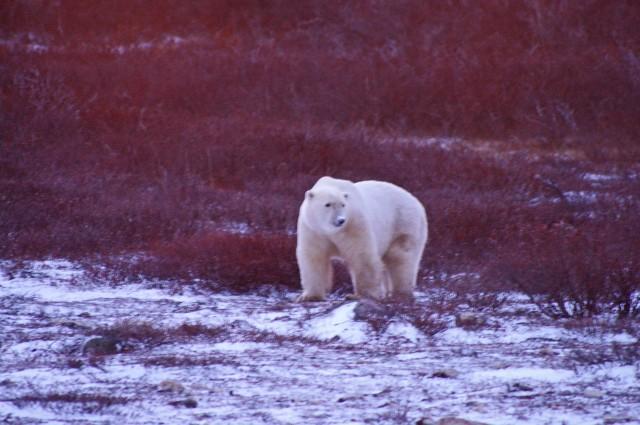 fix polar bear