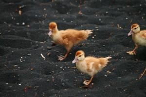 fix ducks blk sand