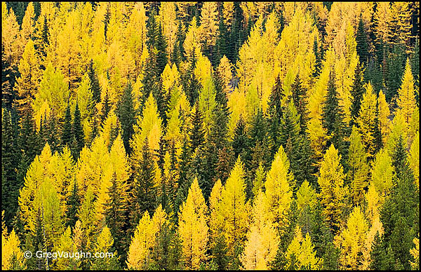 Western Larch Trees in Autumn at Sherman Pass, Colville National Forest, northeast Washington.
