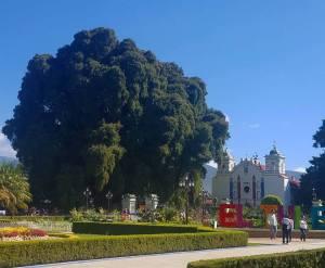 tule, tree, mexico