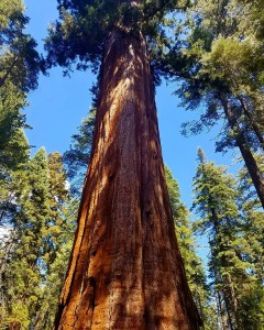 abraham lincoln tree